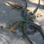 You get to play and feed the Iguanas