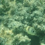 A type of butterflyfish I believe, seen snorkeling the grounds.