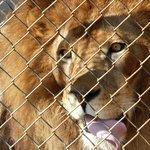 Feeding Jacob the lion