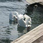 Cisnes ,en el Lago