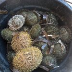 A bucketfull of live sea urchins