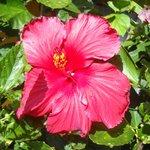 Flor del jardín Rapa Nui Orito