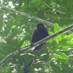 Howler monkey above our cabin