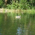 Un patito en el lago