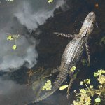 It was amazing see this aligator swimming.