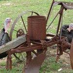 Turkeys on living farm