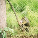 Baboon saying hello