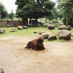 Lonely bison laying around