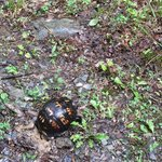 Box turtle digging to lay eggs