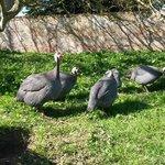 Turkeys (I think!?)
