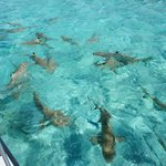 black tip reef shars & rays