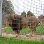Trying to get a glance of 'THE' lion - all caged up - hint: look at the long plank of wood when