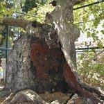 Hippocrates Plane (Platane) Tree