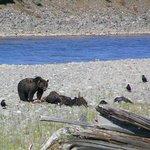 orso bruno che mangia bisonte
