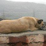Resting Dog at Khandala