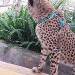 Cheetah Experiece close by