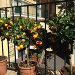 Kumquat Bäumchen
