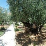 Old olive treas