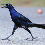 Grackle striding like it owns the place