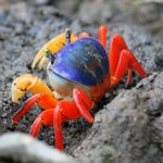 Gorgeous crabs among mangroves