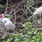 White Ibis nesting