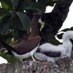 Brown booby and young