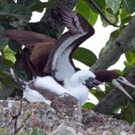 Brown booby nesting