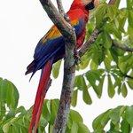 Scarlet macaws above Copa De Arbol