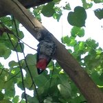 An African Grey in the Tree