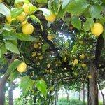 Their lemon grove