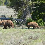 Grizzly bear with 2 cubs