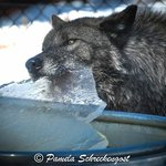 Wolf with Ice in Water tub