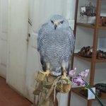 Gavilán gris (gray hawk)