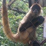 Sipder monkey (mono araña)