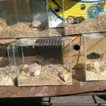 Hamsters em exposicao