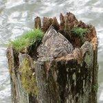 nesting in a pier!