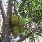 Самый диковинный фрукт - ДжекФрут