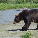 Brown Bear headed back to the water after feeding time