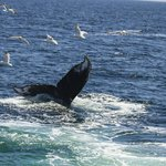 Humpback whale using its tail in assistance with bubble feeding