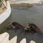 Tapir's in there pool