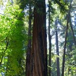 A rather tall Redwood