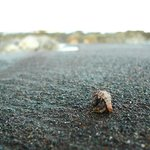 One of the hermit crabs we saw on the Ostional beach