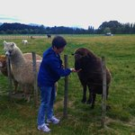 A visitor meets Charlie one of the pet sheep while the alpacas look on