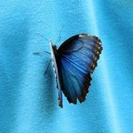 Blue Morpho on blue polo