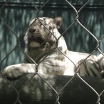 a HUGE tiger!!