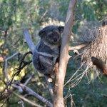 Koala usually sleep but he was awake and active when we went..cool