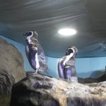 Acquario di Cattolica - Pinguini