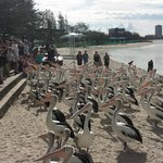 Outback feeding the Pelicans