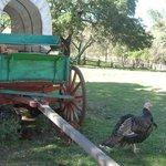 Turkeys at the Sauer -Beckmann farm