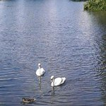 The lovely Swans on the river
